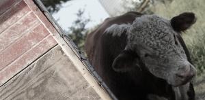 0913_Where's the bull copy