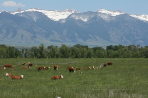 cows in pasture2